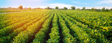 Potato plantations grow in the field. vegetable rows. farming, agriculture. Landscape with agricultural land. crops. Banner