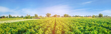 Plantations Of Pepper Grow In The Field. Vegetable Rows. Farming, Agriculture. Landscape With Agricultural Land. Crops. Banner