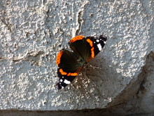 Vanessa Atalanta, The Red Admiral Or Red Admirable, Is A Well-known Colourful Butterfly, Found In Temperate Europe. Location: Mecklenburg-Vorpommern, Germany