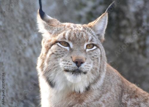 Wall Murals Lynx Beautiful lynx eye