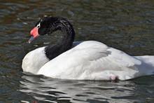 Black-necked Swan Close -up