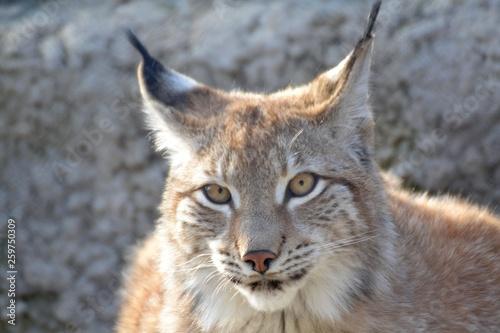 Wall Murals Lynx Fluffy lynx