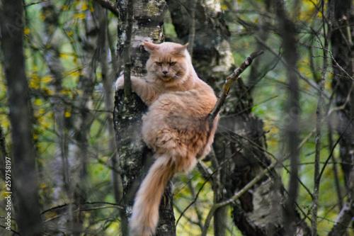 Dziki kot siedzący na drzewie w lesie. Bieszczady, Polska - fototapety na wymiar
