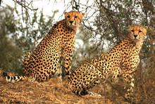 Zwei Geparden In Großer Nähe Im Hluhluwe Nationalpark In Südafrika