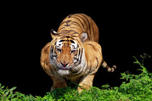 A Sumatran Tiger Ready To Pounce, Indonesia