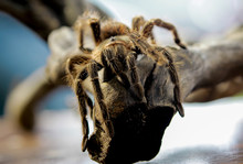 Close-up Of A Tarantula On A B...