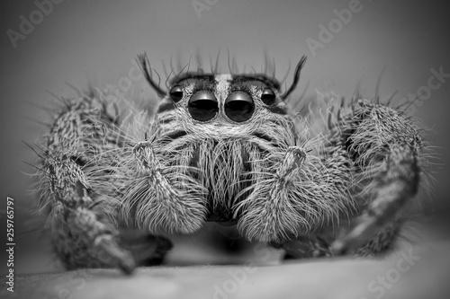 Deurstickers Hand getrokken schets van dieren Close-up of a jumping spider, Indonesia