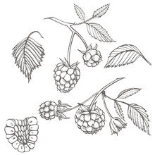 Hand Drawn Raspberry Set Isolated On White Background. Retro Sketch Style Graphic Illustration.