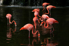 Flamingoes Standing In A Lake, Singapore