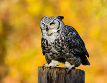 Great Horned Owl Perched On A Wooden Post, British Columbia, Canada