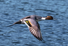Northern Pintail Flying Over O...