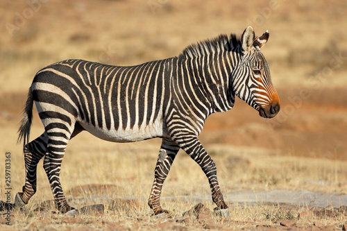Photo Stands Zebra Cape mountain zebra (Equus zebra) in natural habitat, Mountain Zebra National Park, South Africa.