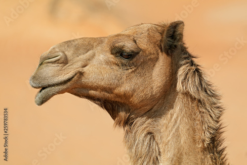 Foto Close-up portrait of a one-humped camel (Camelus dromedarius), Arabian Peninsula