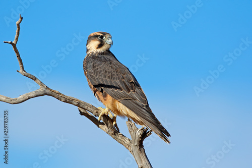 Photo  A lanner falcon (Falco biarmicus) perched on a branch, South Africa