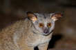 canvas print picture - Portrait of a nocturnal greater galago or bushbaby (Otolemur crassicaudatus), South Africa.