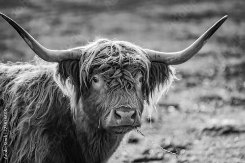 Fototapety, obrazy: monochromes Portrait Kopf  gehörntes schottisches Hochland Rind im Sonnenschein auf einer Weide in der Uckermark