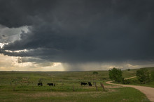 Cattle Grazing On Wyoming Plai...