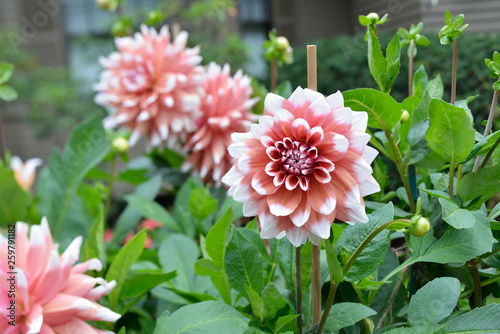 Poster de jardin Dahlia Bicolor dahlias, pink salmon and white