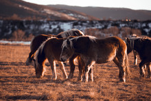 Side View Of Beautiful Horses Pasturing On Meadow Between Mountains At Sunset In Cerdanya, France