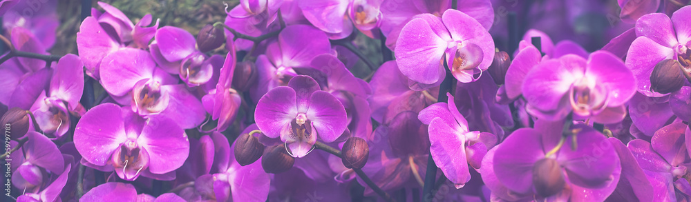 Fototapety, obrazy: Beautiful Dendrobium pink Orchid.Flower Pattern and banner