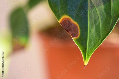 Valokuvatapetti Spots or withering Anthurium leaves