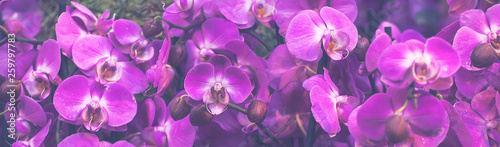 Autocollant pour porte Orchidée Beautiful Dendrobium pink Orchid.Flower Pattern and banner