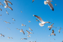 From Below Flock Of White Sea Gulls Flying In Cloudless Blue Sky In Essaouira, Morocco