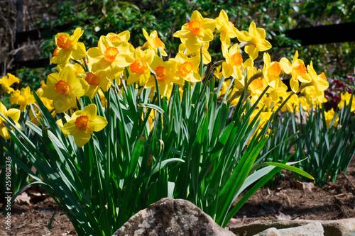 Fotografie, Obraz  Yellow Daffodils in Spring Garden