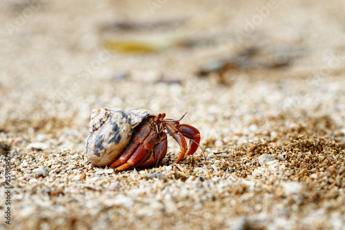 Photo Close-up of a hermit crab (Coenobitidae) wearing a shell shell as shelter and ru