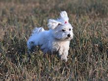 Little Dog White