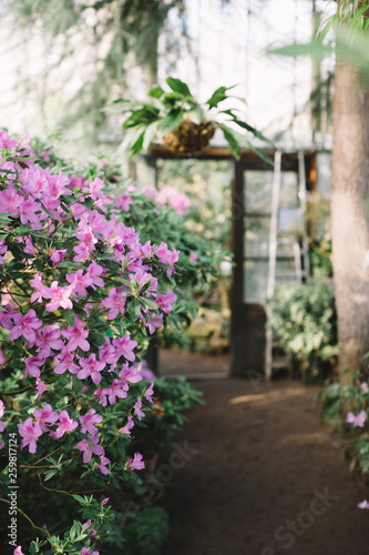 Photo Of Colorful Blooming Pink Azalea Flowers In Hothouse Soft
