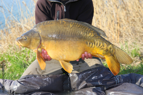 Fotografia, Obraz A very large carp caught on carp competitions