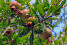 Pomegranate Fruits Are Growing On A Tree In The Garden