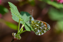 Orange-tip Butterfly Male (Ant...