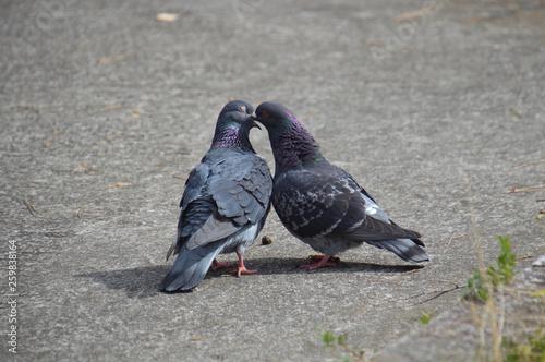 Obraz na plátně 愛を交わすハトのカップル