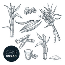 Sugar Cane Plant And Leaves Sk...
