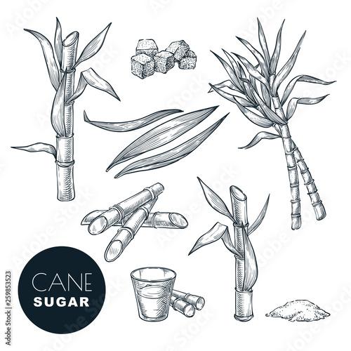 Sugar cane plant and leaves sketch vector illustration Fototapet