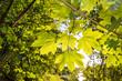 canvas print picture - Sonnenstrahlen scheinen durch Ahornblätter im Sommer