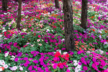 Colorful Impatients Flowers In The Garden With Trees Background. Impatients Flowers Plant In The Park
