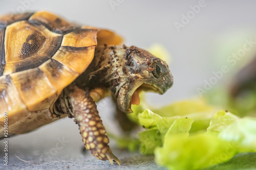 Fond de hotte en verre imprimé Tortue Hermann's tortoise - Testudo hermanni