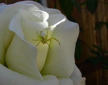 White Crab Spider Hunting On A...