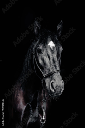Fototapety, obrazy: Portrait of a black horse on the black background