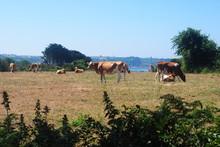 Guernseycowgrazing