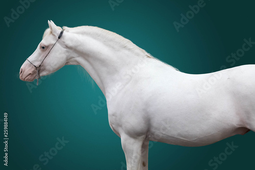 Fotografie, Obraz  Portrait of a stallion of breed the Welsh pony of pure white color on a green background