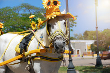 White Horse With Sunflower Hat In The Square.