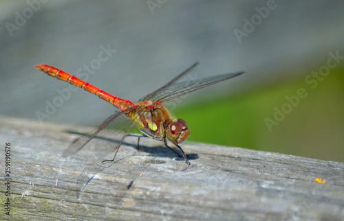 Fényképezés  Common Darter  Red  Dragonfly  Symetrum Strriolatum