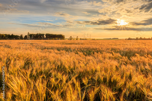 Cadres-photo bureau Sauvage Sunset on the field with young rye.