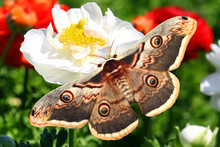 Beautiful Butterfly Saturnia Pyri On Fluffy Garden Buttercup. Flower Blurry Background. Insects And Flowers. Wildlife And Plants. Environment Protection