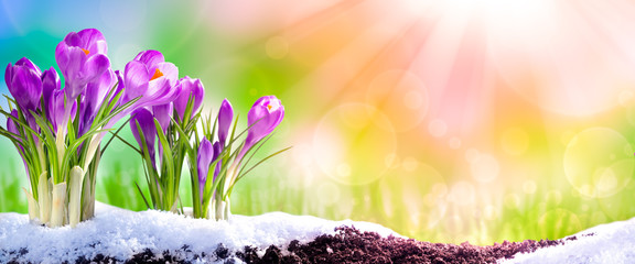 Purple Crocuses Blooming In Garden Soil With Melting Snow And Sunshine - Sprintime