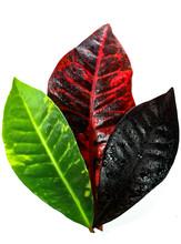 The Beautiful Croton Leaves